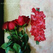Red Gladiolus3