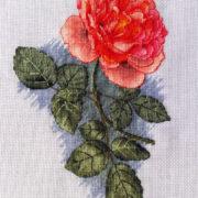 Orange rose1