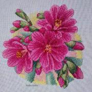 Lewisia pink1