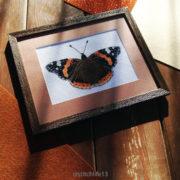 Butterfly Vanessa Аtalanta1